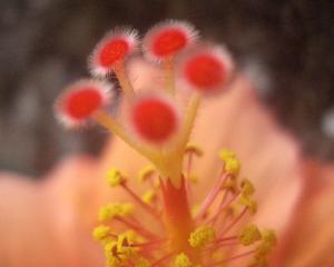 Hibiscus_stigma, Ks.mini, Wikimedia Commons