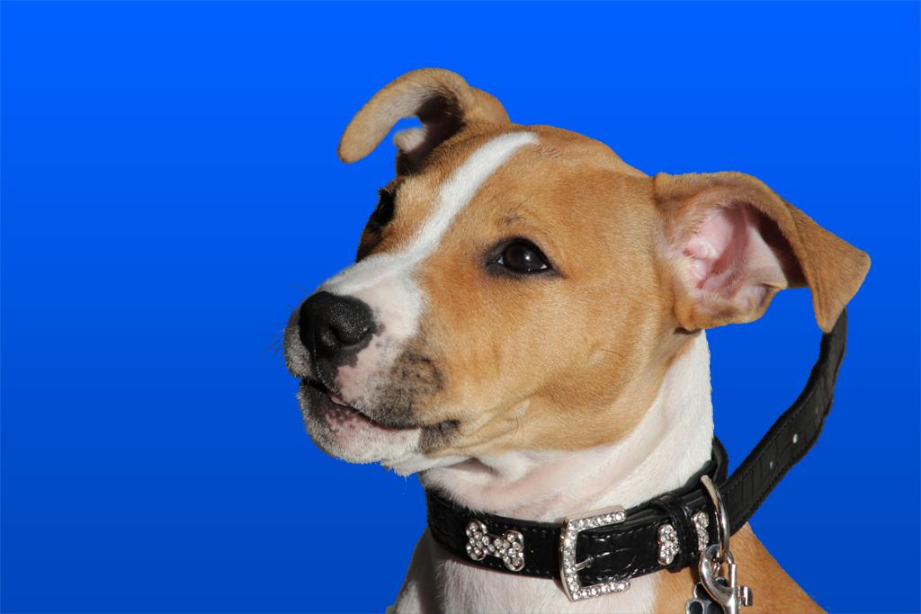 a dog against blue screen