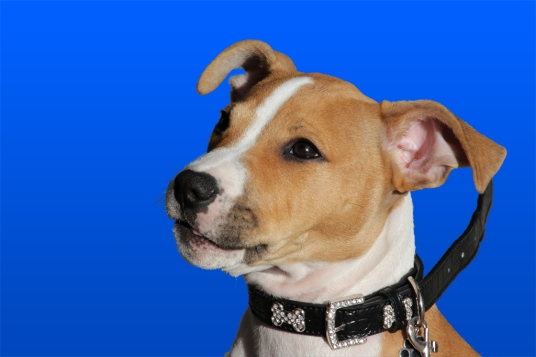 a dog against blue screen